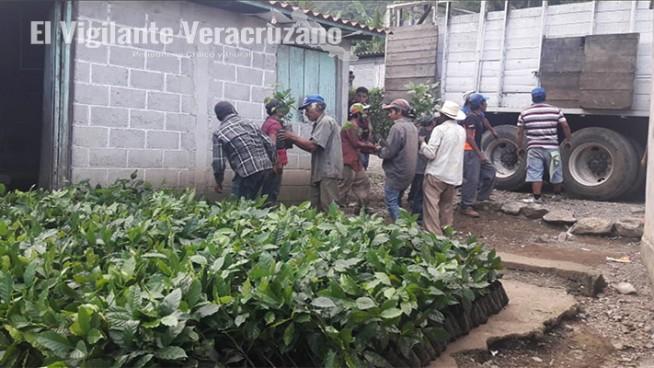 distribuyen plantas de café en atzacan