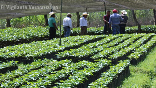 distribución de plantas de café en atzacan