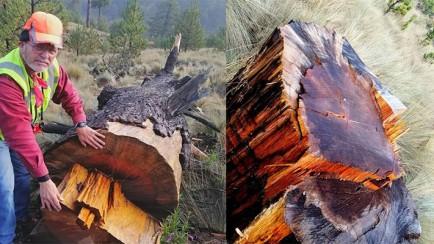 derriban árbol de 400 años de edad en el parque nacional del pico de orizaba